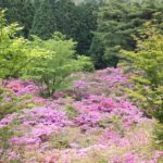 池の原園地のミヤマキリシマの群生の写真