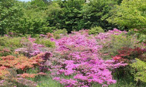宝原園地のミヤマキリシマと新緑の写真