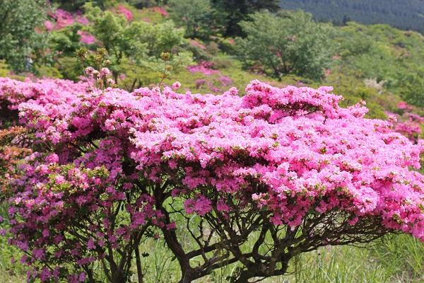 宝原つつじ公園、ミヤマキリシマが満開に咲いてる様子の写真