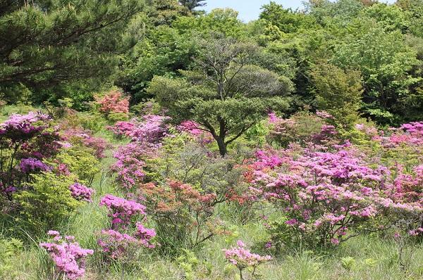 宝原つつじ公園、山に咲いているミヤマキリシマ、自然豊かな景色の写真