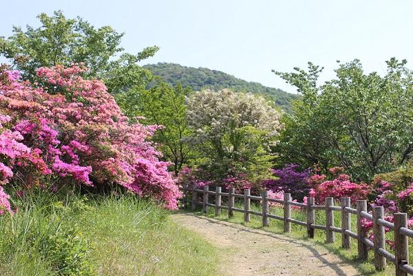 宝原つつじ公園の散歩道の写真、散策しながらミヤマキリシマの花園を楽しめます。