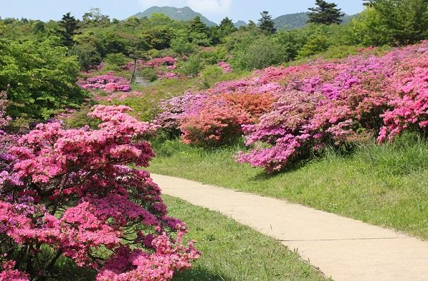 宝原つつじ公園の中央広場に咲くミヤマキリシマと山の写真
