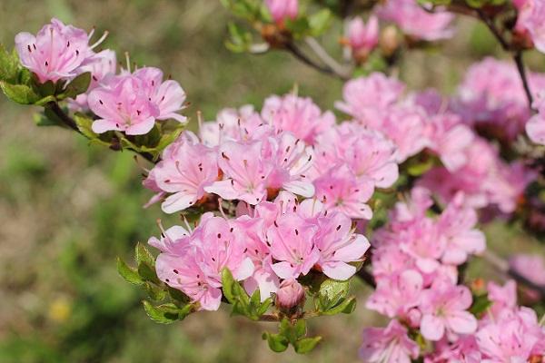 宝原つつじ公園に咲くピンクのミヤマキリシマ、小さい小花のアップ写真