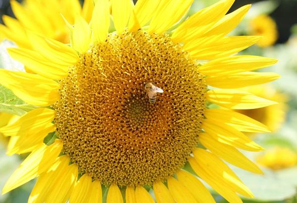 ミツバチが蜜を集めてるひまわりのアップ写真