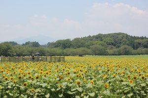 西都原、満開のひまわり畑の写真