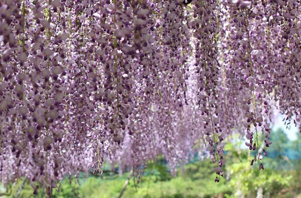 千財農園、茶園を背景に広がる紫の藤のアップ写真