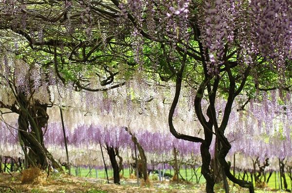 千財農園、紫、白の藤、葉の緑と幹が幻想的な色合いになっている写真