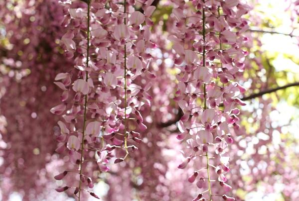 千財農園、可愛らしいピンクの藤のアップ写真