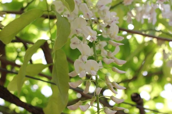 千財農園、清楚な白の藤のアップ写真