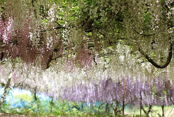 千財農園、紫、白、ピンクのグラデーションになってる美しい藤棚の様子の写真