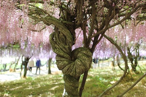 千財農園の藤の写真、幹がぐるりと一周している様子