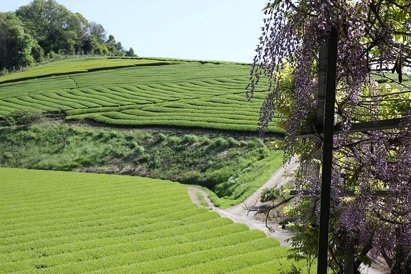 千財農園、緑が美しく広がる茶園と紫の藤の写真