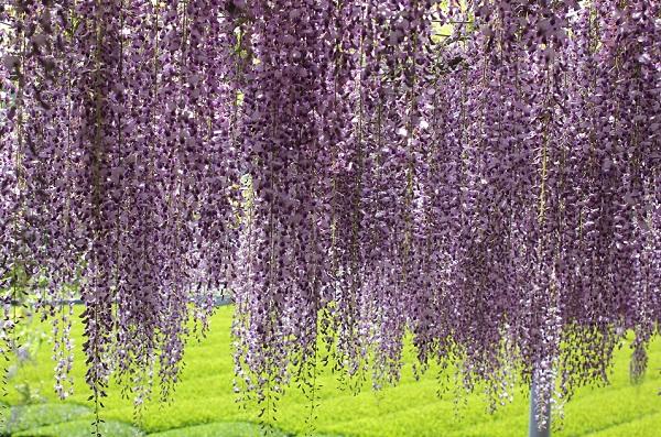 千財農園のお茶畑を背景にすだれの様に咲き誇る藤の写真