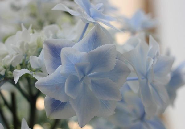 紫陽花(銀河)、優しいブルーがきれいな花の様子の写真