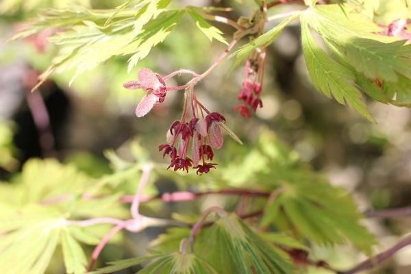 兼六園のモミジ、花が咲いてる様子の写真