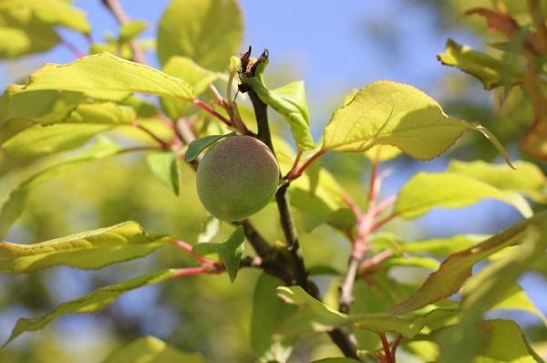 兼六園に植えられてる梅、色づいた梅の実のアップ写真