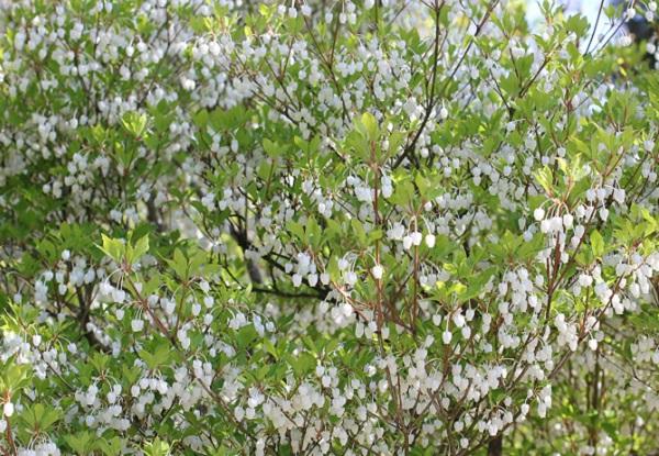 兼六園に咲いている満開のドウダンツツジの写真