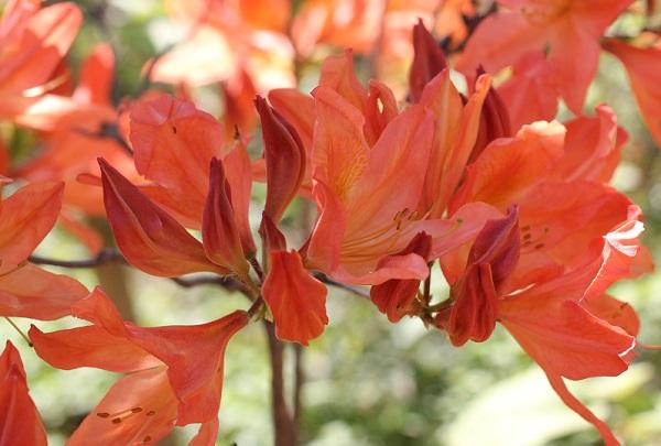 兼六園に咲いている美しいオレンジ色のツツジの写真