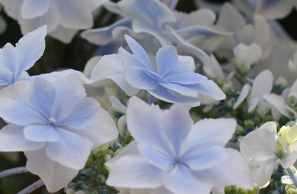 紫陽花(銀河)、両性花と装飾花の様子の写真