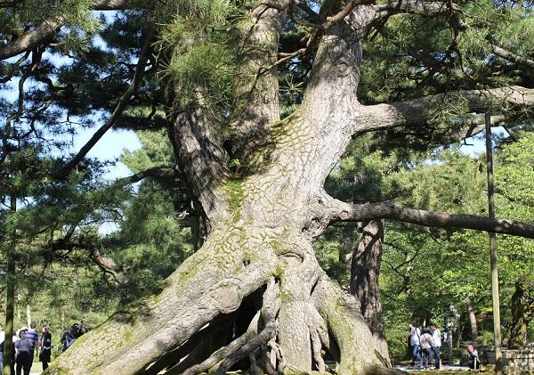 兼六園の根上松の写真
