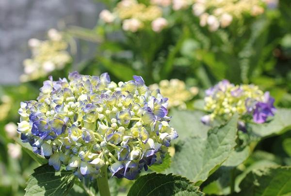 庭に咲きはじめた大株の紫陽花・ブルーとピンクの写真