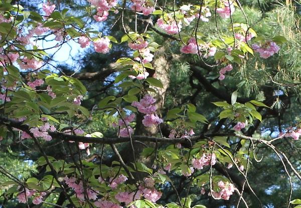 兼六園に咲いている八重桜