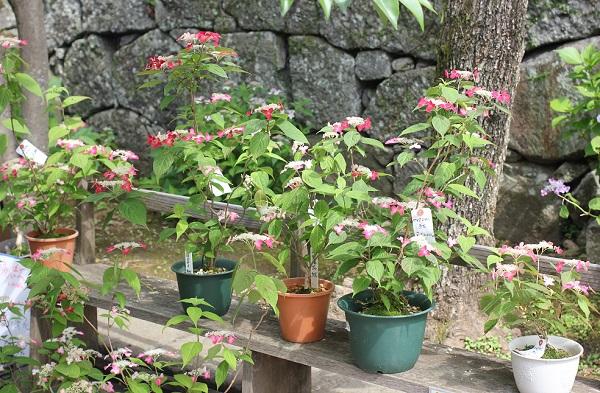 興福寺の境内で販売されてるヤマアジサイ(紅の)様子の写真