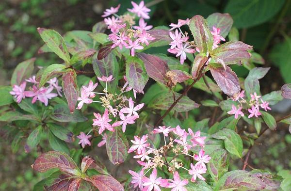 興福寺の咲いているヤマアジサイ(乙女の舞)の写真