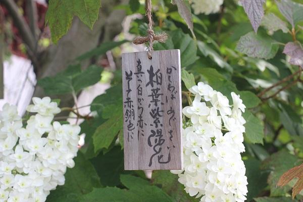 興福寺に咲いている柏葉紫陽花の写真