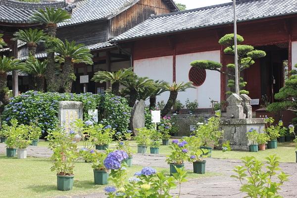 大雄宝殿の庭、アジサイとソテツの写真