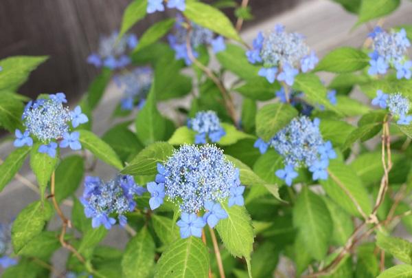 興福寺の咲いているヤマアジサイ(碧姫)の写真