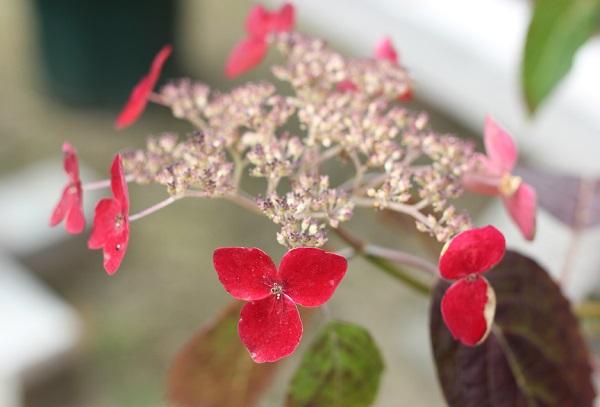 興福寺の咲いているヤマアジサイ(紅の真紅色)の写真
