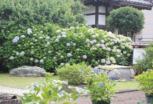 興福寺の庭園、アジサイが咲いてる写真