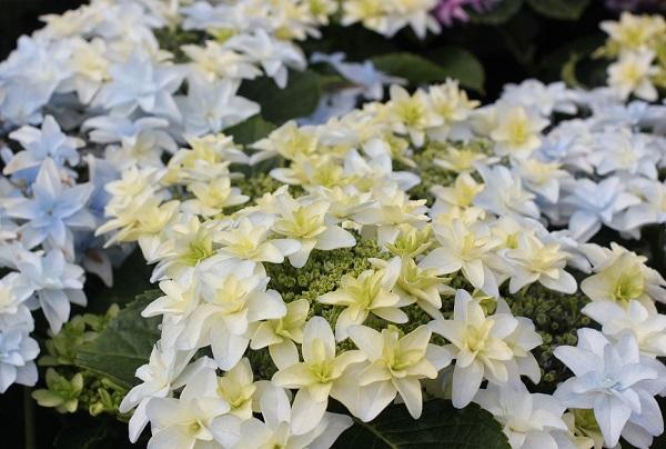 アジサイ、「泉鳥(いずみどり)」が美しく咲いてる様子の写真