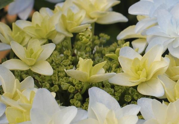 アジサイ、「泉鳥(いずみどり)」の両性花と装飾花のアップ写真