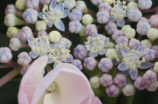アジサイ、「カメレオン」のキュートな両性花と装飾花のアップ写真