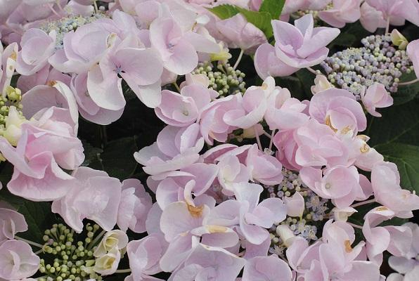 アジサイ、「カメレオン」が咲いてる様子の写真