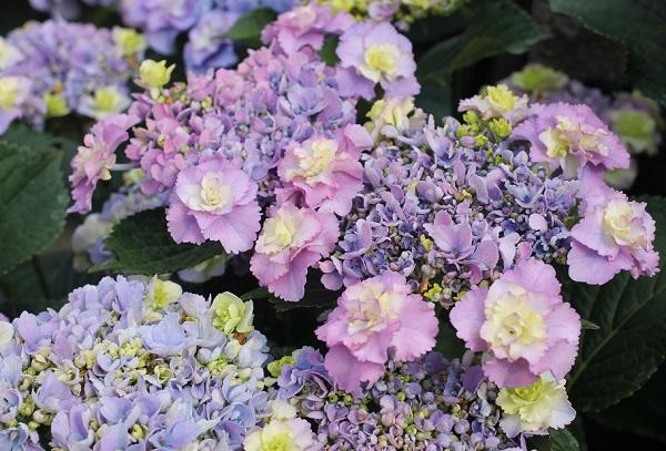 アジサイ、ピンクやブルーの「ティンカーベル」が咲いてる様子の写真