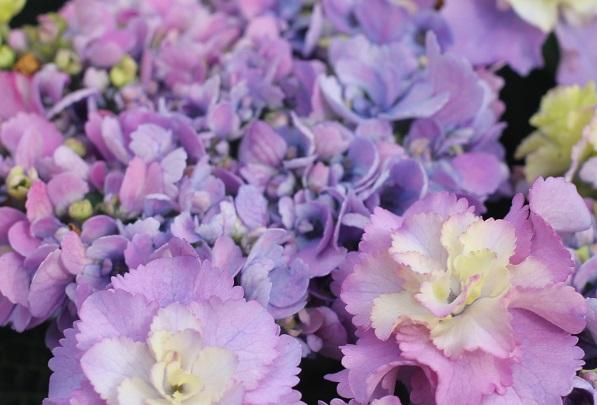アジサイ、「ティンカーベル」の両性花と装飾花のアップ写真