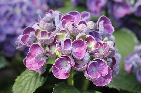 アジサイ、可愛い赤紫の「ポップコーン」の写真