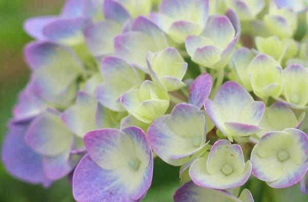 轟の滝公園のアジサイ、薄紫のきれいな紫陽花のアップ写真