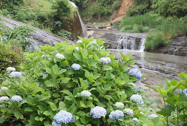 轟の滝公園の川辺に咲いているブルーのアジサイの写真