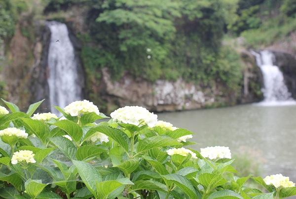轟の滝公園、滝を背景に咲いている白い紫陽花の写真