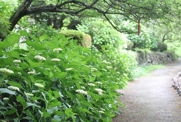 轟の滝公園の遊歩道沿いに咲いているアジサイの並木道の写真