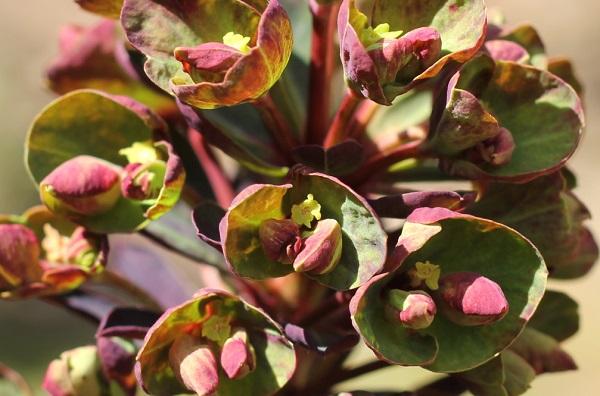 ユーフォルビア ・ブラックバードが蕾の様子のアップ写真