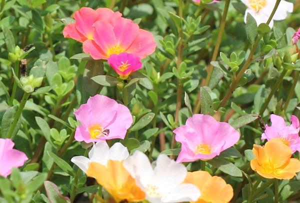 庭の花壇に植えた虹色ポーチュラカ、色とりどりの花の様子の写真