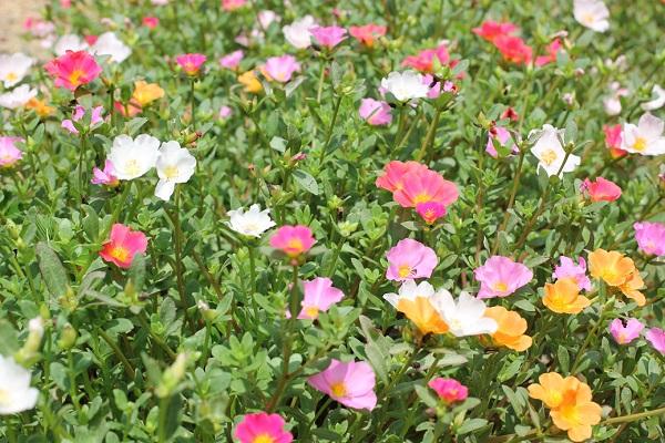 庭の花壇に植えた虹色ポーチュラカ、2カップのポーチュラカがたくさん増えて咲き乱れてる様子の写真
