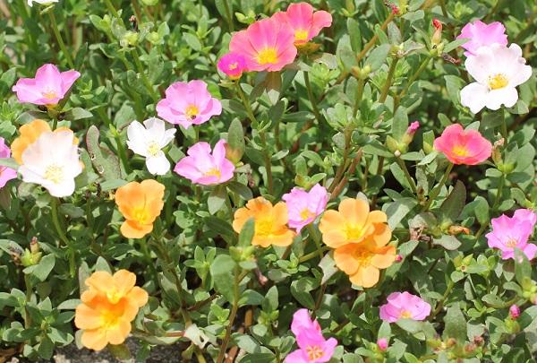 庭の花壇に植えた虹色ポーチュラカ、色とりどりの花が咲いた様子の写真