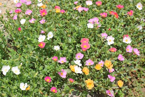 虹色ポーチュラカがたくさん咲いた様子の写真