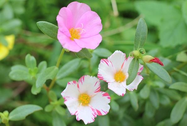 庭の花壇に植えた虹色ポーチュラカ、絞り裂きのポーチュラカが咲いた様子の写真